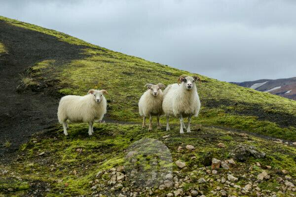 Iceland, three sheep looking curiously into the camera, mother with two big lambs, lava sand and moss