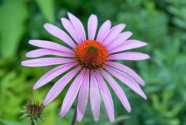Narrow-leaved sun hat, Echinacea angustifolia, family Daisy Family,