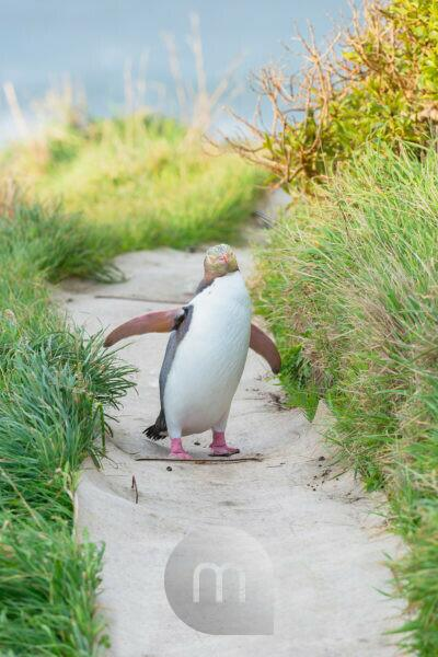Yellow-eyed Penguin (Megadyptes antipodes) on the move, Otago, South Island, New Zealand,