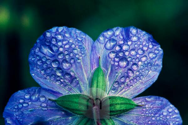Drops of water on a blue flower in the garden