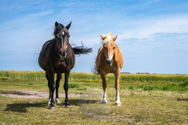 Europe, North Sea, North Sea island, Wadden Sea, Germany, National Park, Schleswig-Holstein, Two horses on Amrum