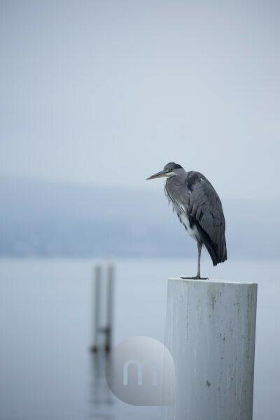 Heron, Cully, Vaud, Switzerland