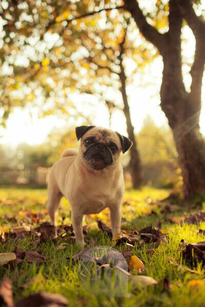 Pug in autumn, foliage, pet, bitch, Germany