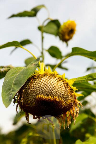 Sunflower, withered, close-up, flower, botany, plant life, Norddeich, Lower Saxony, Germany,