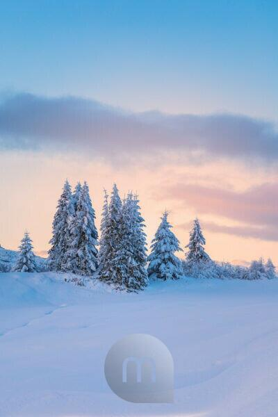 snow-covered fir trees at dusk, plateau of pralongia†, Corvara in Badia, Badia valley, South Tyrol, Italy, Europe