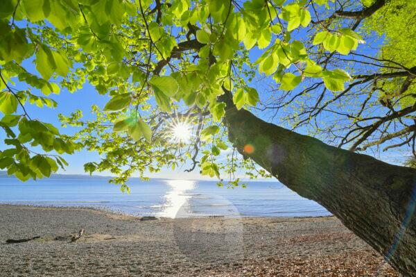 Lakeshore with tree and sun, Konstanz, Lake Constance, Baden-Württemberg, Germany