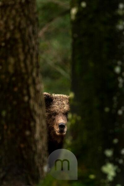 Young wild brown bear hides between two trees in the forest.