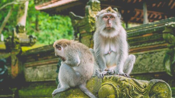 Sadly looking Long-tailed Macaque Monkey in the Monkey forest in Bali. Eye contact